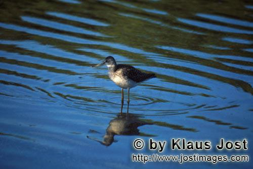 Greater Yellowlegs/Tringa melanoleuca        Greater Yellowlegs sees his reflection        The bi