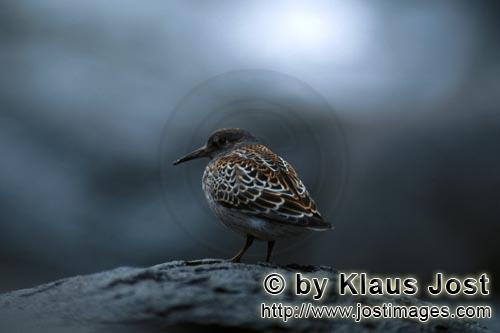 Common surfbird/Aphriza virgata        Common surfbird at Cook Inlet        The Common surfbird is a