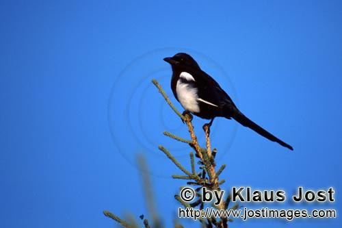 Black-billed Magpie/Pica hudsonia        Black-billed Magpie on a fir        This Black-billed Ma