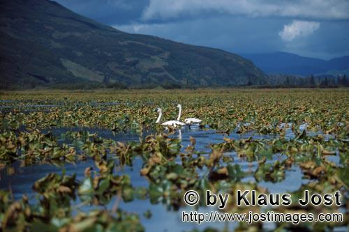 Trumpeter swan/Cygnus buccinator        Trumpeter swans in a plant-covered Lake