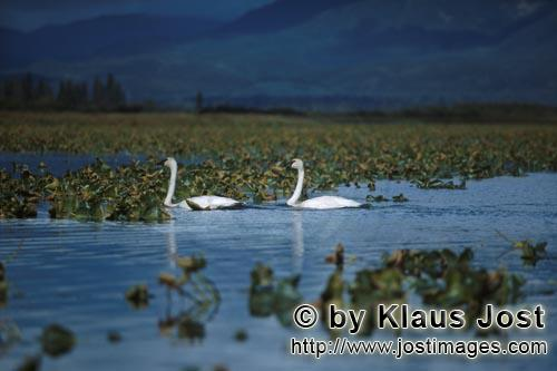 Trumpeter swan/Cygnus buccinator        Two trumpeter swans in the plant-covered Lake