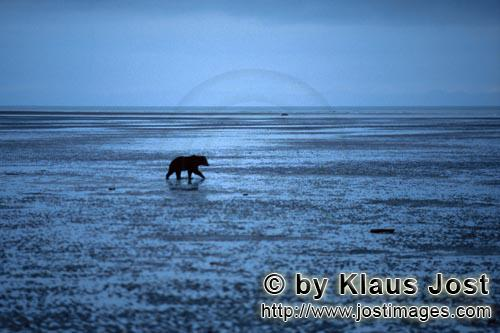 Grizzly (Ursus arctos horribilis)        Grizzly on mussel search
