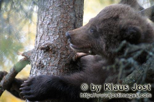 Brown Bear/Ursus arctos horribilis        Young brown bear is comfortable on the tree        While <