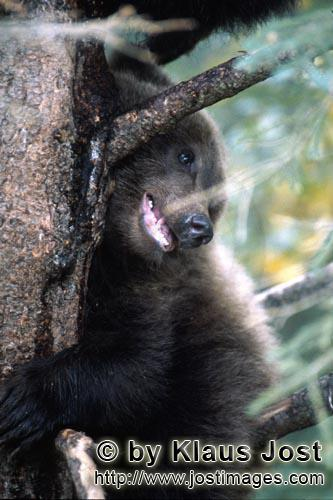 Brown Bear/Ursus arctos horribilis        Little Brown Bear with good views from the tree        Whi