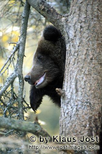 Brown Bear/Ursus arctos horribilis        Young Brown Bear on the tree        While mummy brown b
