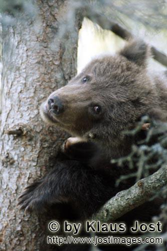 Brown Bear/Ursus arctos horribilis        Little brown bear looks scary from the tree        While <