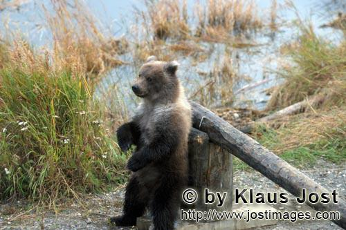 Brown Bear/Ursus arctos horribilis        Erect Little Brown Bear on the turnpike        Is someone