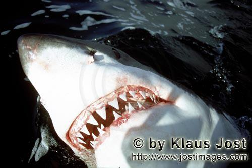 Weißer Hai/Great White Shark/Carcharodon carcharias        The sharp teeth of the Great White Shark