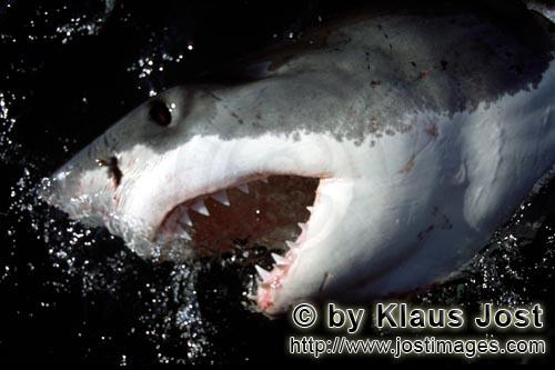 Weißer Hai/Great White Shark/Carcharodon carcharias        Great White Shark shows its mouth and te
