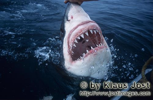 Great White Shark/Carcharodon carcharias        Razor razor-sharp: The teeth of the white shark