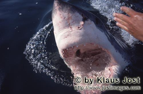 Great White shark/Carcharodon carcharias        Close-up of the white shark throat        With its m