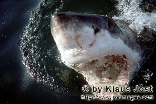 Great White shark/Carcharodon carcharias        With its mouth open, the White Shark breaks through
