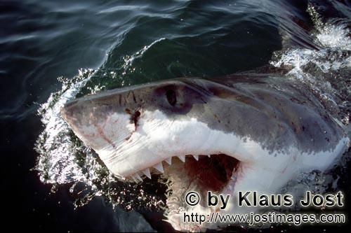 Great White Shark/Carcharodon carcharias        A White Shark breaks through the water with its mout