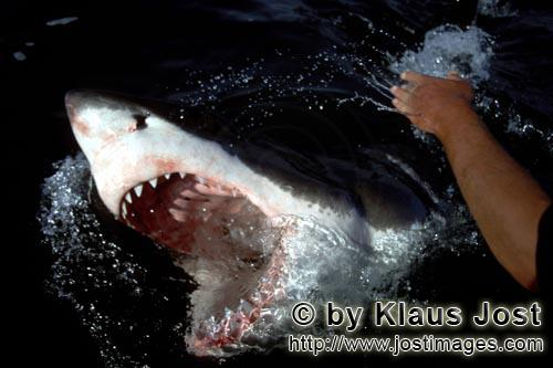 Weißer Hai/Great White Shark/Carcharodon carchariasWhite Shark breaks through the water with open mouth
