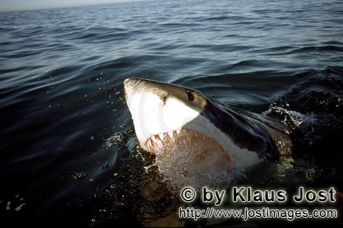 Great White Shark/Carcharodon carcharias        Great White Shark on the water surface in the fur se