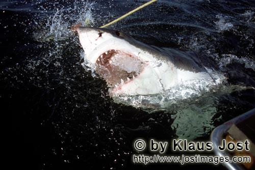 Weier Hai/Great White Shark/Carcharodon carchariasA Great White Shark emerges from the dark, opaque water With its mouth open, the Great White Shark (Carcharodon carcharias) is emerging from the opaque water. Its sharp triangular teeth are feared and with the movable upper jaw it is able to hunt large prey, too. African penguins, cormorants (or sea ravens), many other sea birds and a large colony of South African fur seals (Arctocephalus pusillus) live here. The surface hunter often finds his prey on the water surface. The super-robber great white shark with its size and strength and fearsome jaws is a permanent danger to the South African fur seals around Dyer Island and Geyser Rock. The great white shark belongs to the family of mako sharks and has very large gill slits and long pectoral fins. The largest great white shark ever caught had a length of 6.4 meters and an estimated weight of 1500 kg. In making a surprise attack from the depths they accelerate so fast that they sometimes shoot out of the water. The jaws of the great white shark with their sharp triangular teeth in the upper jaw and the pinpointed tusks in the lower jaw are notorious and dreaded. In order to be able to catch larger prey, the upper jaw is loose (or movable) and can be pushed forward. Lost or damaged teeth are replaced without any problem for a lifetime. The great white shark is the top robber of the food chain and fulfils an important task in conserving the ecological balance in the ocean. There is very little known about their behaviour and habitat. The great white shark exists almost unchanged for millions of years and has adjusted optimally to its environment. But now there is a danger that it will be exterminated by us humans.