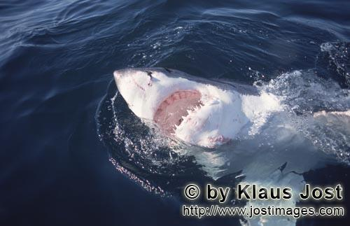 Great White Shark/Carcharodon carcharias        Intense white light up the underside of the white sh