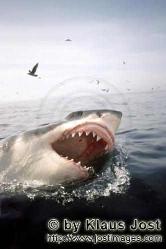 Weißer Hai/Great White Shark/Carcharodon carchariasGreat White Shark and sea birds  Six sea (or nautical) miles from the coast of Gansbaai, quite close to Dyer Island and Geyser Rock, a great white shark breaks through the water surface. African penguins, cormorants (or sea ravens), many other sea birds and a large colony of South African fur seals (Arctocephalus pusillus) live here. The surface hunter often finds his prey on the water surface. The super-robber great white shark with its size and strength and fearsome jaws is a permanent danger to the South African fur seals around Dyer Island and Geyser Rock. The  great white shark belongs to the family of mako sharks and has very large gill slits and long pectoral fins. The largest great white shark ever caught had a length of 6.4 meters and an estimated weight of 1500 kg. In making a surprise attack from the depths they accelerate so fast that they sometimes shoot out of the water. The jaws of the great white shark with their sharp triangular teeth in the upper jaw and the pinpointed tusks in the lower jaw are notorious and dreaded. In order to be able to catch larger prey, the upper jaw is loose (or movable) and can be pushed forward. Lost or damaged teeth are replaced without any problem for a lifetime. The great white shark is the top robber of the food chain and fulfils an important task in conserving the ecological balance in the ocean. There is very little known about their behaviour and habitat. The great white shark exists almost unchanged for millions of years and has adjusted optimally to its environment. But now there is a danger that it will be exterminated by us humans.