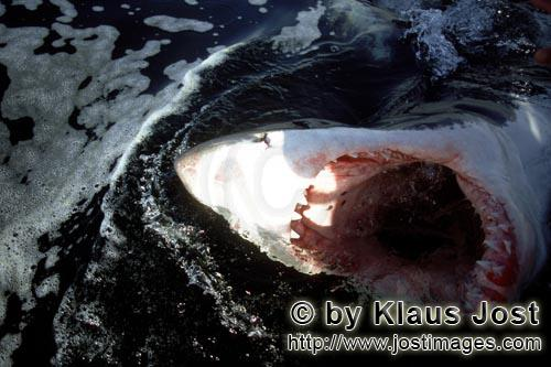 Weißer Hai/Great White Shark/Carcharodon carcharias        Wide open mouth of the White Shark in th