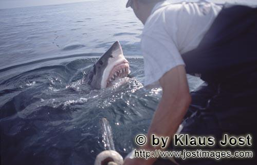 Weißer Hai/Great White Shark/Carcharodon carcharias        Great White Shark lifts its head over wa
