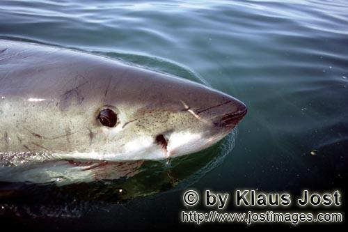 Great White Shark/Carcharodon carcharias        Great White Shark on the water surface         Six s