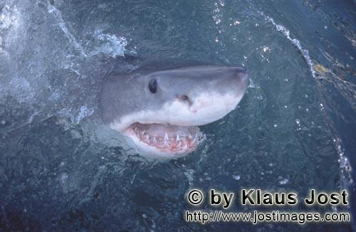 Weißer Hai/Great White Shark/Carcharodon carcharias        Great White Shark shows interest for the