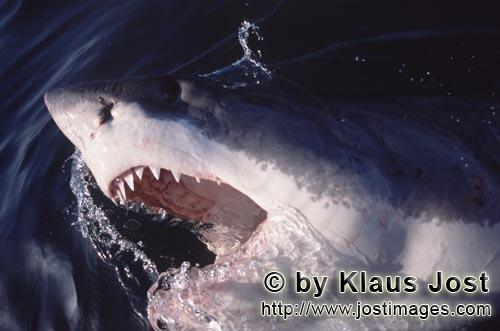 Great White shark/Carcharodon carcharias        The great white shark breaks through the water surfa