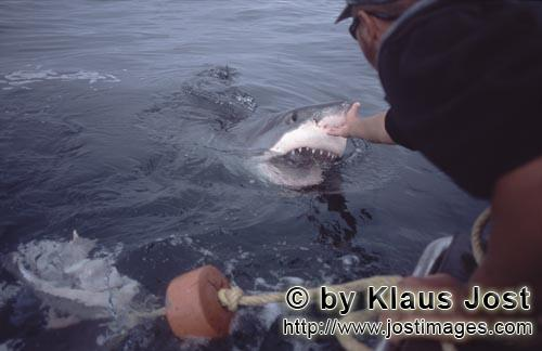 Weißer Hai/Great White shark/Carcharodon carcharias        Michael Rutzen touches the nose of the G