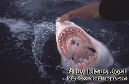 Weißer Hai/Great White shark/Carcharodon carcharias        An intriguing look inside the mouth of t