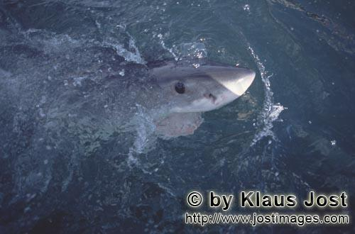 Great White Shark/Carcharodon carcharias        Dark blue Great White Shark eye        A great wh
