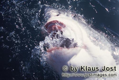 Great White Shark/Carcharodon carcharias        Great White Shark snapping at the water         Six