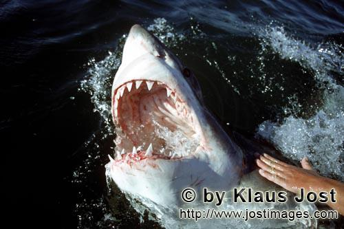 Weißer Hai/Great White Shark/Carcharodon carcharias        The mouth of the white shark with razor-
