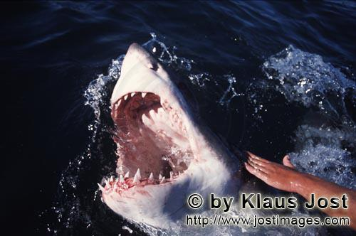 Weißer Hai/Great White shark/Carcharodon carcharias        Great White Sharks have very sharp teeth