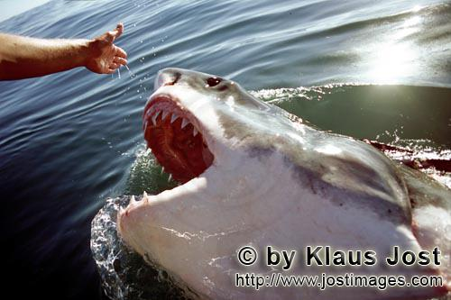 Weißer Hai/Great White Shark/Carcharodon carchariasGreat White Shark staring at the outstretched hand