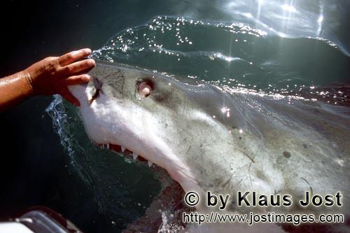 Great White Shark/Carcharodon carcharias        White Shark can roll the eyes back into their head t