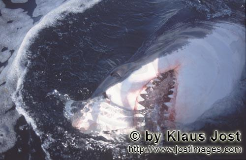 Weißer Hai/Great White Shark/Carcharodon carcharias        Great white shark and his teeth        S