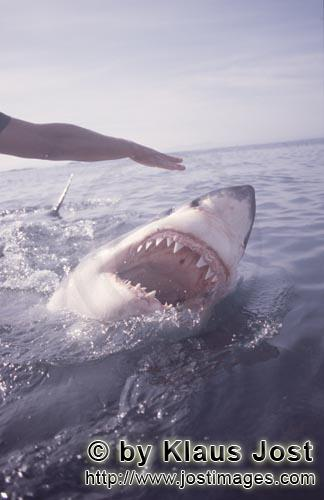 Great White Shark/Carcharodon carcharias        Great white shark with an open mouth on the water su