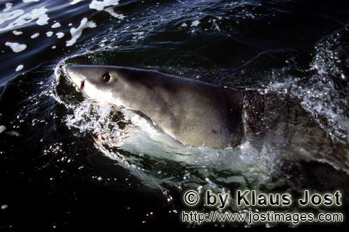 Great White Shark/Carcharodon carcharias        Great White Shark on its way off the South-African c