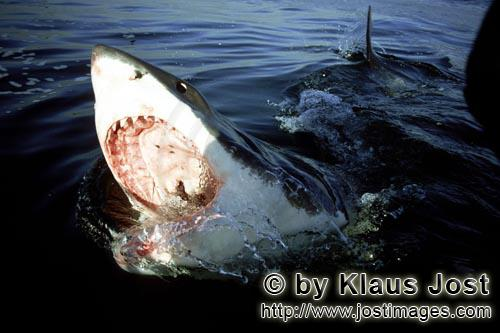 Weißer Hai/Great White Shark/Carcharodon carcharias        Great White Shark on the sea surface, it