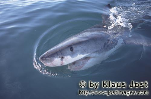 Great White Shark/Carcharodon carcharias        Eye to eye with a Great White Shark