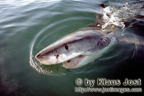 Great White Shark/Carcharodon carcharias        Spreading fear and fascination: the Great White Shar