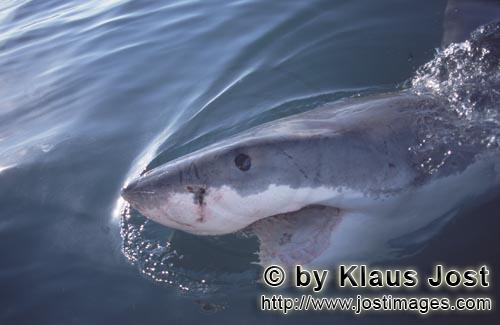 Weißer Hai/Great White Shark/Carcharodon carcharias        Eye to eye with a Great White Shark