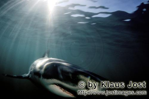 Great White shark/Carcharodon carcharias        Great White Shark hunting near Geyser Rock         A