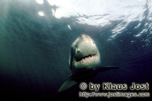 Weißer Hai/Great White shark/Carcharodon carcharias        The Greate White Shark – a perfect cre