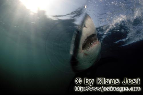 Weißer Hai/Great White shark/Carcharodon carcharias        The phantom of the depth - the Great Whi