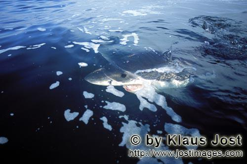 Weißer Hai/Great White shark/Carcharodon carchariasThe outlines of the Great White shark melting into the environment