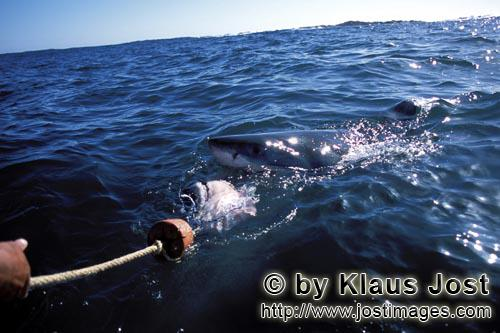 Great White Shark/Carcharodon carcharias        A Great White Shark following the bait to the boat</