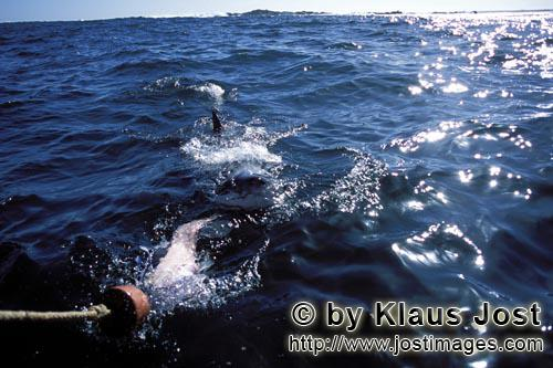 Weißer Hai/Great White Shark/Carcharodon carcharias        Great White Shark heading for the bait</