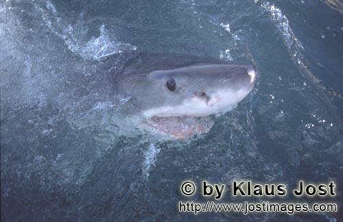 Weißer Hai/Great White Shark/Carcharodon carcharias        The great white shark considered the wor