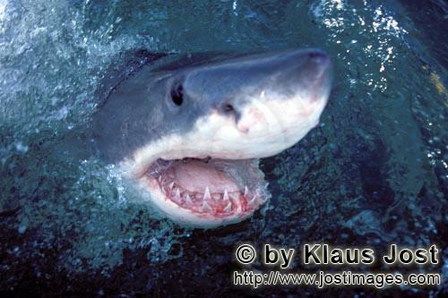 Great White Shark/Carcharodon carcharias        The great white shark lifts its head over water